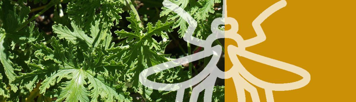 Cómo evitar picaduras de mosquitos de manera natural
